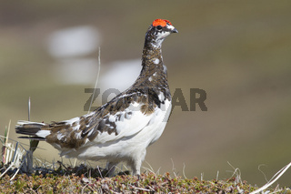 The male Rock ptarmigan standing among the hummocks in the tundra on a spring day