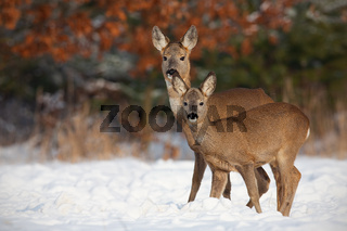Roe deer, capreolus capreolus, family in deep snow in winter.