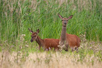 Cautions red deer hind and calf walking on a green meadow in summer