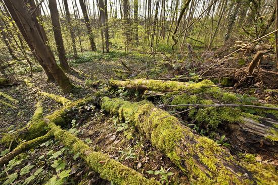 forest in spring, Witten, Ruhr Area, North Rhine-Westphalia, Germany, Europe