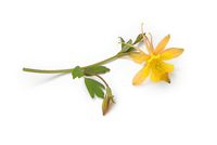 Yellow Columbine lies on white background