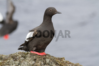 The Pigeon guillemot sitting on a rock in the cast zone during the summer low tide