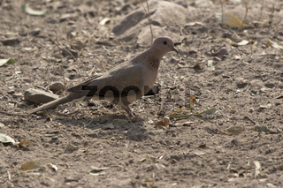 Laughing Dove sitting on the ground on a bright, sunny winter day