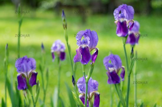 Violet flower iris in the garden. Flower in the garden. Spring flower iris shot in clear sun on gree