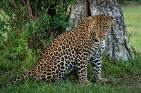 Male leopard sitting by tree turning head