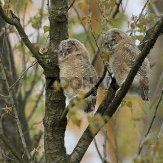 zwei kleine Eulen... Waldkauzästlinge * Strix aluco *