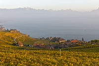 Lavaux am Genfersee im Herbst, Rivaz, Lavaux, Waadt, Schweiz / The Lavaux vineyards at Lake Geneva i
