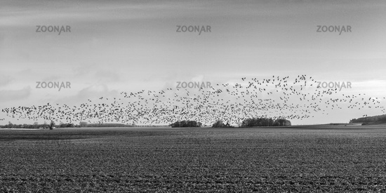 The Swarm of Seed Geese