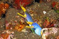 Blue Ribbon Eels, Rhinomuraena quaesita