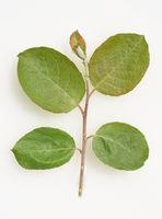 Salweide, Sproessling, Salix, caprea