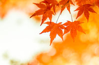 autumnal background, slightly defocused red maple leaves