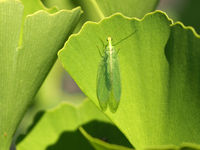 Maidenhair tree with Lacewing