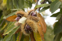 Ripe chestnuts on the tree in autumn