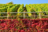 green vines and red wild wine