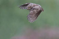 flying litle Owl sideview
