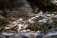 The ball python, Python regius, also known as the royal python