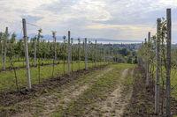 Trellis fruit on Lake Constance, scenery