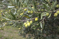 Green olives on an olive tree