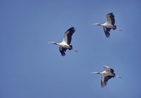 Wood Storks in flight