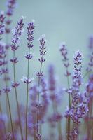 scene of beautiful lavender flowers field