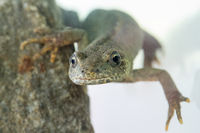 buresch's crested newt female