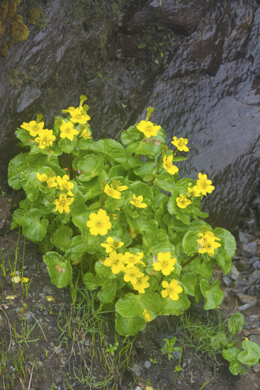 Photo yellow flowers of ranunculus laetus valley of flowers yellow flowers of ranunculus laetus valley of flowers uttarakhand india mightylinksfo