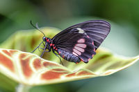 Cattleheart butterfly (Parides eurimeded mylotes) perched on a leaf.