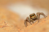 Jumping spider, Plexippus paykull, female, Satara, Maharashtra, India