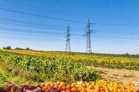 Pumpkin harvest in summer