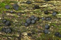 bachelor's button, black Bulgar, black jelly drops, black-stud fungus, poor man's licorice