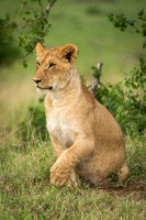 Lion cub lifts paw while getting up