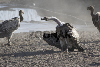 Ruppells Griffon Vulture that stands on a sandy creek beach in the African savanna revealing its wings