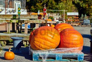 Fresh giant pumpkins on farm market