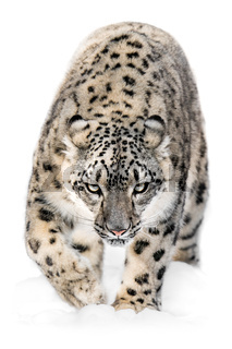 Snow Leopard on the Prowl XII