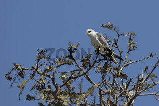 Black-winged kite sitting on top of a tree with a sunny hot day