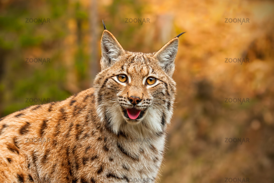 Adult Eurasian lynx in autumn forest gazing to the camera