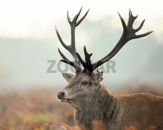 Portrait of red deer stag injured during the rut
