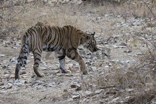 female of the Bengal tiger who goes on a forest glade on a winter morning