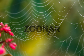 Drops of dew on the web