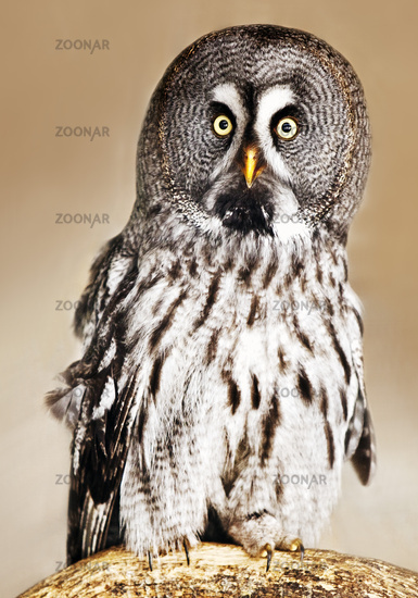 great grey owl (Strix nebulosa), portrait, perching on a branch, front view, Pelm, Germany