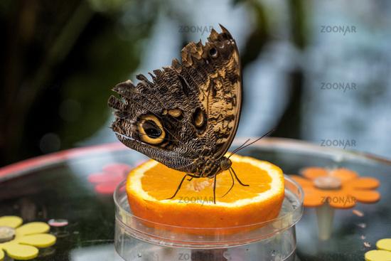 Owl butterfly ,caligo eurilochus. beautiful brown butterfly