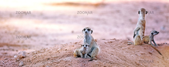 Family of Meerkats, Kgalagadi Transfrontier National Park, South Africa, (Suricata suricatta)