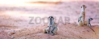 Erdmaennchenfamilie, Kgalagadi-Transfrontier-Nationalpark, Südafrika, (Suricata suricatta) | Family of Meerkats, Kgalagadi Transfrontier National Park, South Africa, (Suricata suricatta)