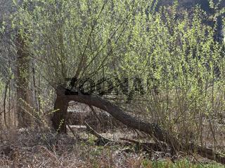 Junge Triebe an einer alten umgebrochenen Weide