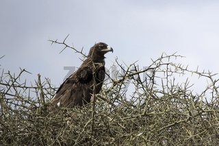 Steppe Eagle that sits on the top of the acacia in the African savanna