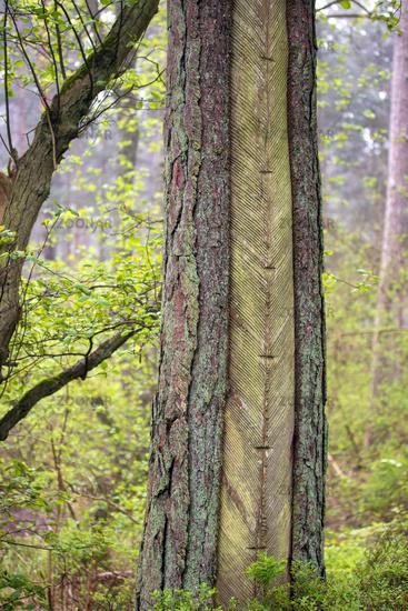 Darss Forest 001. Fischland Darss Zingst. Germany