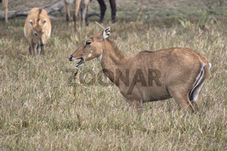 female nilgai or blue bull who grazes on a watered meadow on a winter Indian day