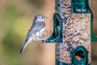 tufted titmouse in the wilds of south carolina