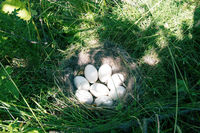 The Widgeon (Anas penelope) duck's nest