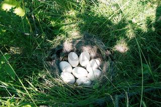 The Widgeon (Anas penelope) duck's nest